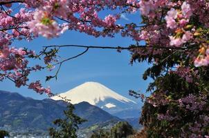 monte fuji y flores de cerezo