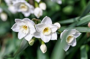 narciso blanco. foto