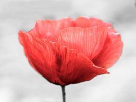 Lovely Poppy Flower photo