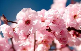 Rich cherry blooming in Redmond photo