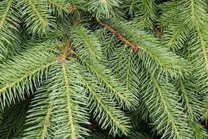 twigs of spruce tree