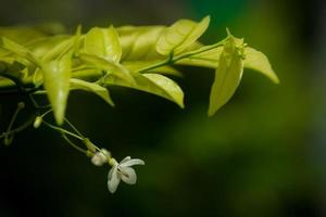 Murraya paniculata flowers and leaves from shoots soft focus.
