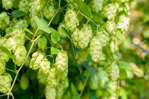 Humulus Lupulus Flowers, Also Called Hops
