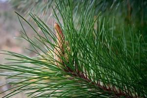 Pinecone branch photo