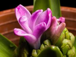Home flower series,  hyacinth