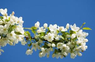 flores de manzano