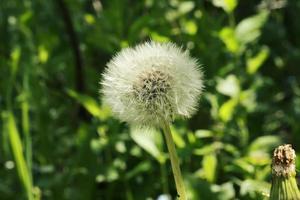 dandelion wild field flowers in the garden grass summer photo