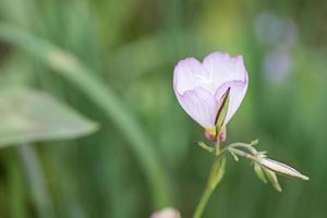 White & Purple Poppy(Papaver) photo
