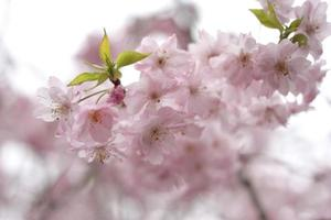 primavera de flor de cerezo de sakura.
