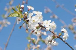 Flowering Cherry Tree photo