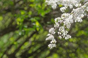 Plum cherry flowers
