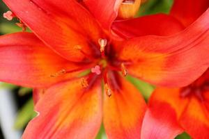 the lily in red