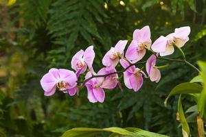 Pink Phalaenopsis orchid branch