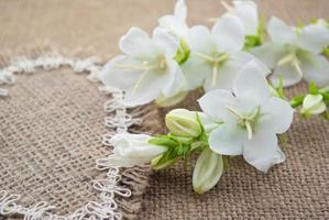 White flowers Campanula lie on the heart of coarse cloth photo