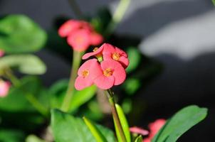 Red flowers of Crown of Thorns - Euphorbia