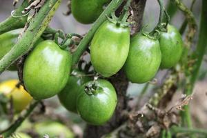 Bush of green tomato in the garden photo