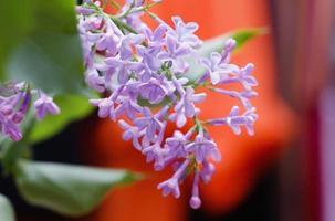 Branch lilac photo