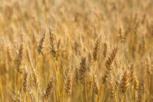 Ears wheat in a field as a background.