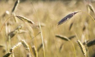 Rye in Field photo