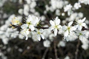 Flowers of the blackthorn blossoms photo
