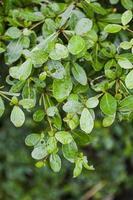 árbol terminalia ivorentsis