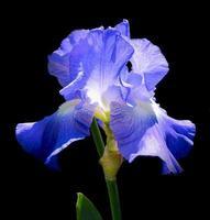 flor de iris sobre fondo negro foto