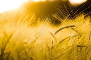 Barley field in golden glow photo