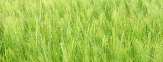 Cereal crop.
