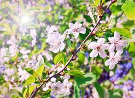 Beautiful blooming of decorative white apple and fruit trees