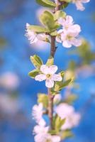 Blackthorn blossom photo