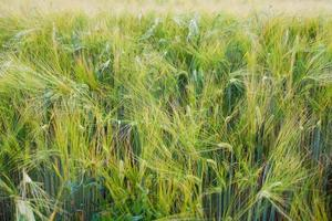 Summer Wheat Crops Field photo