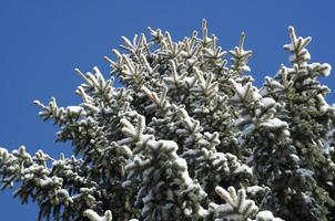 Blue spruce branches photo