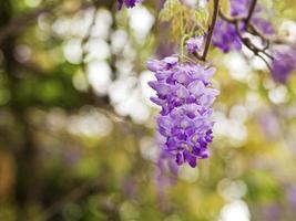 wisteria sinensis foto