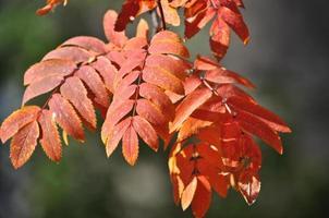 época de caída de las hojas: hojas brillantes en las ramas.