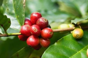 Coffee tree photo