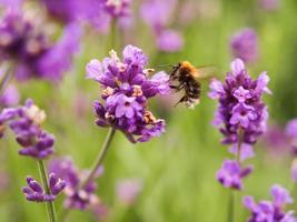 Lavender flowers (lavandula) with Hummel photo