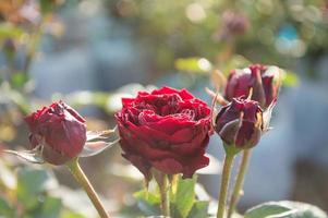 Red roses as a natural background photo