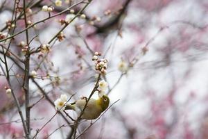flor de ciruelo foto