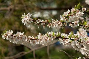 Prunus tomentosa photo