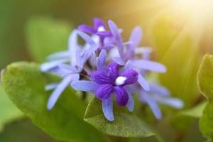 Purple Wreath, Sanpaper Vine