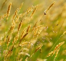 Wild yellow meadow wheat grass