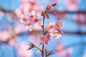 sakura rosa com bokeh