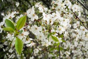 Cherry flowers on tree branches photo