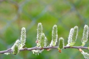 bourgeons d'un arbre au printemps