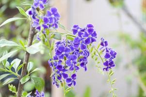 purple Pigeon berry flower