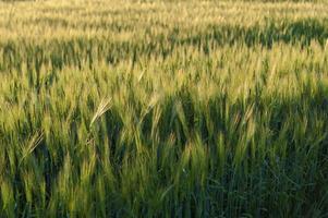 Agriculture barley grain wheat field photo