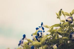Torenia or Wishbone flowers vintage