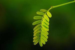 Tamarind leaf close up