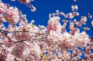 Pink cherry tree flowers with blue sky photo