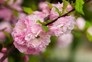 Pink flower of an Oriental cherry